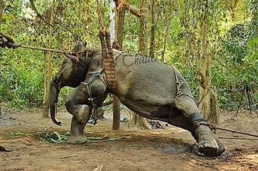 Das Leid der Elefanten – Freiheit für gequälte Dickhäuter!